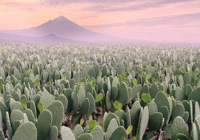 Nopal Cactus Prickly Pear